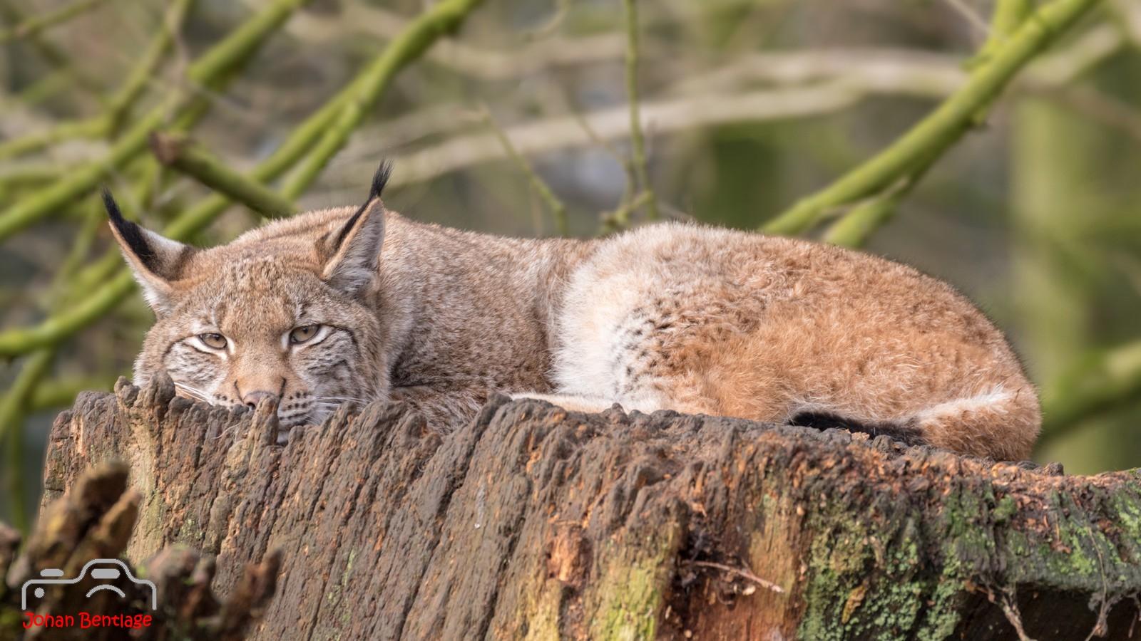 2018-2-4 Lynx